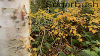 Sugarbush foliage DH