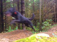 Canis lupus trailshreddicus